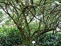 Ficus palmata 01 by Line1.JPG