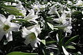 Field-of-Easter-Lilies ForestWander.JPG