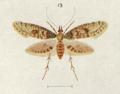 Fig. 13 Isonomeutis restincta.png