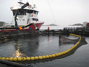 English: A modern well-boat picks up salmon re...