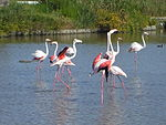 Flamants roses en Camargue.jpg