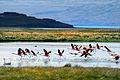 Flamingos, Lago Argentino, Patagonia, Argentina.jpg