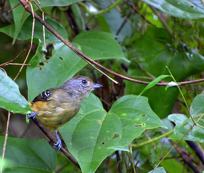 Ficheiro:Flickr - Dario Sanches - CHOCA-DA-MATA fêmea ( Thamnophilus caerulescens).jpg