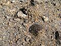 Flickr - brewbooks - Cluster of Pediocactus simpsonii (Football cactus) (2).jpg