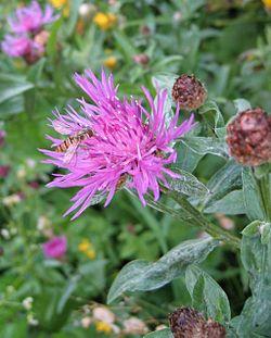 Flockeblume01.jpg