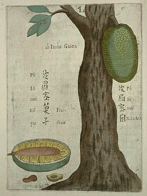 Jackfruit - The jackfruit illustrated by Michael Boym in the 1656 book Flora Sinensis.
