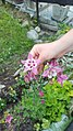 Flower in Alagna Valsesia.jpg