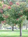 Flowering tree lynwood.jpg