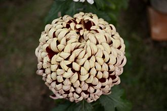 Chrysanthemum - Chrysanthemum