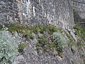 Flowers grow on the rock foundations of the Citadel - geograph.org.uk - 1317136.jpg