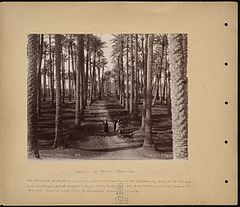 Forest of Palms Sakkara.jpg