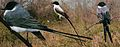 Fork Tailed Flycatcher From The Crossley ID Guide Eastern Birds.jpg