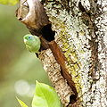 Forpus conspicillatus -Colombia -male by nest-8.jpg