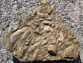 Fossiliferous limestone (Hinton or Bluefield Formation, Upper Mississippian; Rt. 460 roadcut between Oakvale & Kellysville, West Virginia, USA) 1 (30552969792).jpg