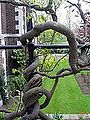 Fountain Court, Middle Temple wisteria-138449846.jpg
