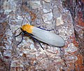 Four-spotted Footman (43944537264).jpg