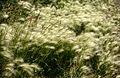 Foxtail barley (Hordeum jubatum) - panoramio.jpg