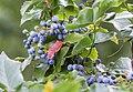 Früchte der Mahonie (14786258405).jpg