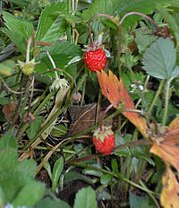 Woodland Strawberry, Fragaria vesca