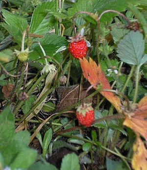 Fragaria - Woodland strawberry (Fragaria vesca), a Northern Hemisphere species