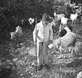 Franc Pavlnov s kozami, Robidišče 1951 (2).jpg