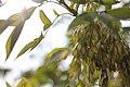 Fraxinus ornus - Crni jasen (4)445.jpg