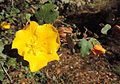 Fremontodendron californicum Californian Glory kz6.jpg