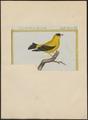 Fringilla tristis - 1700-1880 - Print - Iconographia Zoologica - Special Collections University of Amsterdam - UBA01 IZ16000037.tif