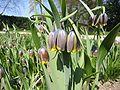 Fritillaria uva-vulpis 02HD.jpg