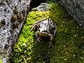 Frog - eye to eye (5528832173).jpg