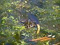 Frog Rex 7.jpg