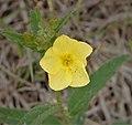 Frostweed (Helianthemum carolinianum) (39048923691).jpg