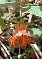 GC Campanula canariensis.jpg