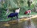 GOC Bengeo to Woodhall Park 041 Cows (8102453556).jpg