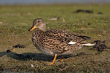 Gadwall-female.jpg