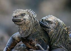 Galápagos marine iguana.jpg