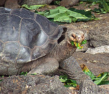 An adult tortoise with a mouthful of green leaves.