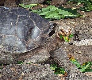 English: Galapagos islands giant tortoise feeding
