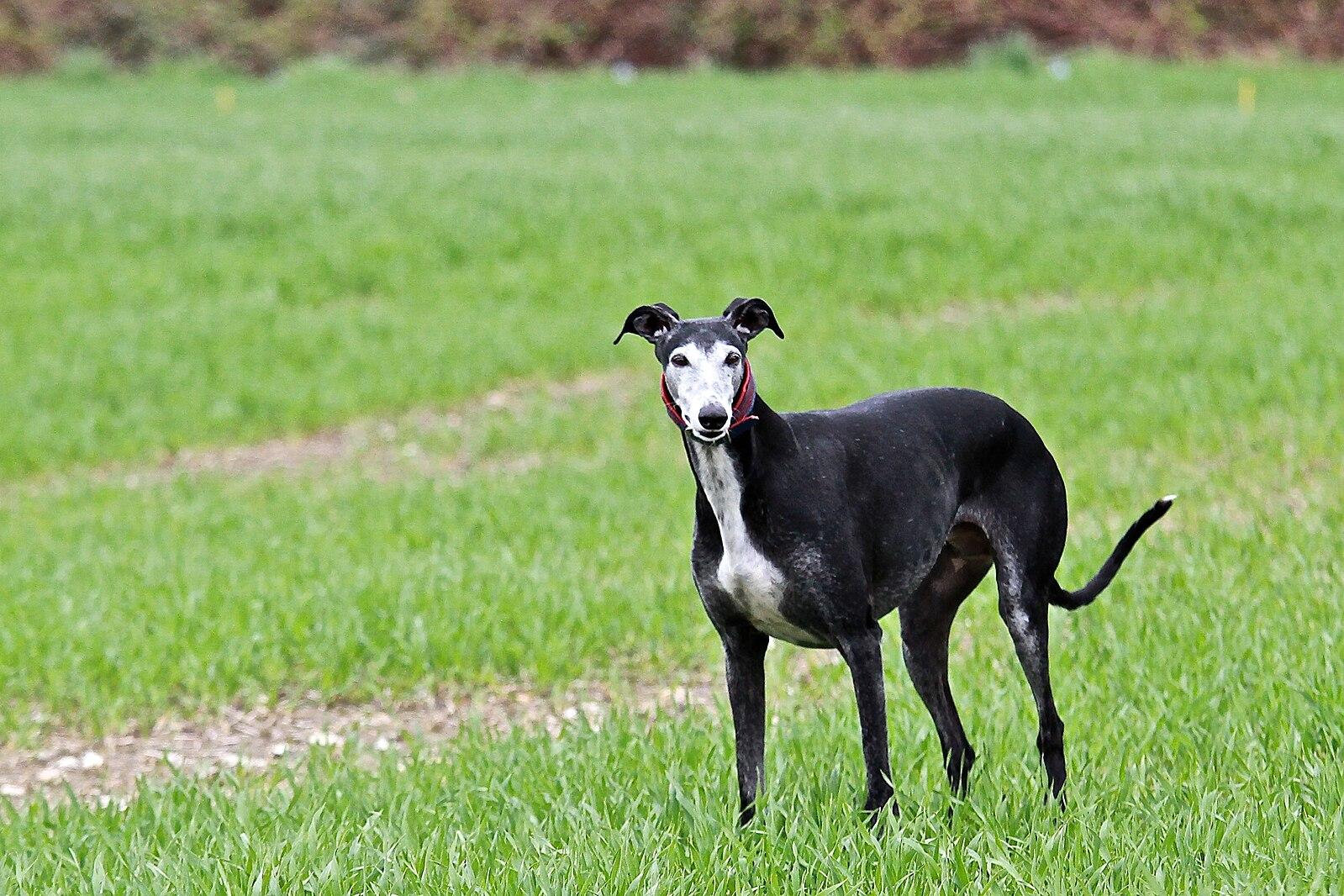 фото собаки породы испанский гальго