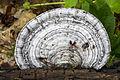 Ganoderma megaloma 2.jpg