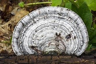 Ganoderma megaloma - Image: Ganoderma megaloma 2