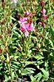 Gaura coccinea Scarlet Beeblossom გაურა.JPG