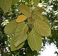 Geiger Tree (Cordia sebestena) leaves in Hyderabad, AP W 269.jpg