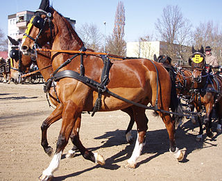 Gelderland horse Breed of horse