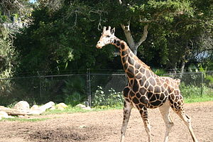 Santa Barbara Zoo - Gemina