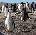 Gentoo Penguin Chick (5607595269).jpg