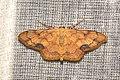 Geometridae (16053575511).jpg
