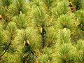 Georgia Pinus elliottii.jpg