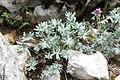 Geranium argenteum - GBA Viote 07.jpg