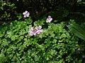 Geranium dalmaticum.jpg